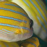 Blaustreifen-Schnapper (Maldives) © 2007