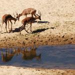 Kruger NP - Fighting Impalas