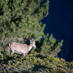 Niederhorn (Switzerland) - A young capricorn in the morning light     © Stephan Stamm