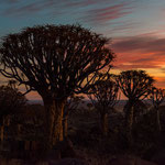The Quiver Tree Forest in Keetmanshoop (Namibia)     © Stephan Stamm