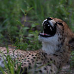 Karongwe GR - Young Cheetah