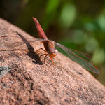 Waterberg NP (Namibia) - Red Dragonfly
