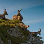 Niederhorn (Switzerland) - Capricorn familiy     © Stephan Stamm