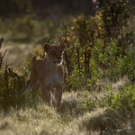 Okavango Delta (Abu) - Lions in the morning light