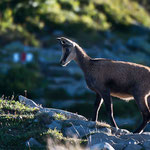 Niederhorn (Switzerland) - A chamois in early morning light     © Stephan Stamm