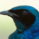 Waterberg NP (Namibia) - Burchell's Starling with Eye Reflexion