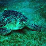 Schildkröte in Abu Dabab (Marsa Alam) © 2006