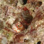Rotpunkt-Schleimfisch / Blenny (Maldives) © 2007