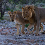 Etosha NP - Pair of lions - Lioness discovered the photographer