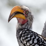 Khutse Game Reserve - Southern Yellow-billed Hornbill