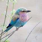 Chobe NP (Savuti) - Lilac-breasted Roller