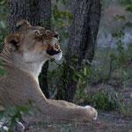 Etosha NP - Tired Lioness