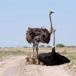 Nxai Pan NP - African ostrich family