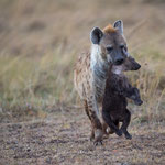 A spotted Hyena carries her young to the den. Masai Mara National Reserve, Kenya    © Stephan Stamm