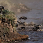 Hundreds white-bearded Gnus are crossing the Mara River - this time all survived. Masai Mara National Reserve, Kenya     © Stephan Stamm