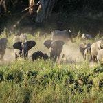 Kruger NP - Large Elephant family
