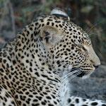 Sabi Sands GR (Chitwa Chitwa) - lazy Leopard
