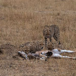 Cheetahs are posing with their prey. Masai Mara National Reserve, Kenya     © Stephan Stamm