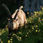 Niederhorn, Bern (Switzerland) - Alpine Ibex within the alp flowers     © Stephan Stamm