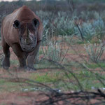 Etosha NP - Black Rhino ready for an attack