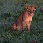 Okavango Delta (Abu) - Young Lion sitting between Flowers