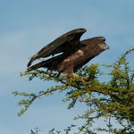 Etosha NP - Brown Snake Eagle discovered something to attack