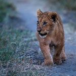 Where to go the way, lion cub? Masai Mara National Reserve, Kenya     © Stephan Stamm