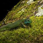 Val Bavona, Ticino (Switzerland) - Western green lizard     © Stephan Stamm