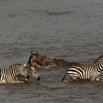 Other Zebras and Wildebeest still cross Mara River. Masai Mara National Reserve, Kenya     ©2019 Stephan Stamm