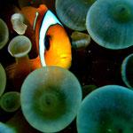 Rotmeer-Anemonenfisch (Berenice) © 2008