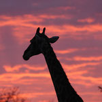 Sabi Sands GR (Chitwa Chitwa) - Giraffe with purple sky