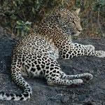 Sabi Sands GR (Chitwa Chitwa) - Sleeping Leopard