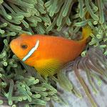 Anemonenfisch (Maldives) © 2007