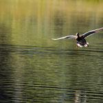Étang de la Gruère (Switzerland) - Flying duck     © Stephan Stamm