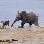 Chobe River Front - Young elephant scares away a baboon