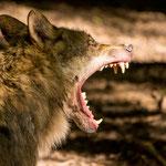 Wildlife Park Zurich Langenberg (Switzerland) - Wolves     © Stephan Stamm