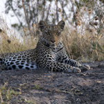 Chobe NP - Leopard stopped hunting