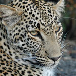Sabi Sands GR (Chitwa Chitwa) - Wonderful Leopard