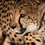 Ojitotongwe (Namibia) - Cheetah came very close     © Stephan Stamm