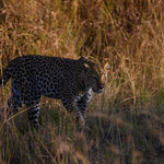 Leopard starts hunting right after sunrise. Masai Mara National Reserve, Kenya     ©2019 Stephan Stamm