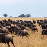 Gnus in panic because of cheetahs. Masai Mara National Reserve, Kenya    ©2017 Stephan Stamm