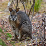 Kangaroo Island Flinders Chase NP (South Australia) - Wallaby     © Stephan Stamm