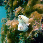 Christmas tree worm (Ningaloo Reef) © 2008