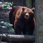 Wildlife Park Zurich Langenberg (Switzerland) - A beautiful Brown Bear     © Stephan Stamm
