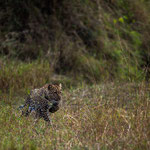 Leopard on its hunting path. Masai Mara National Reserve, Kenya     © Stephan Stamm