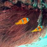 Rotmeer-Anemonenfische (Marsa Alam) © 2006