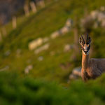 Niederhorn, Bern (Switzerland) - Chamois at sunset     © Stephan Stamm