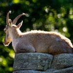 Wildlife Park Zurich Langenberg (Switzerland) - An Ibex female     © Stephan Stamm