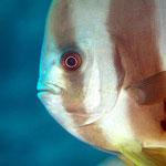Fledermausfisch (Maldives) © 2007
