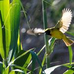 Karoo NP - Southern Masked-Weaver